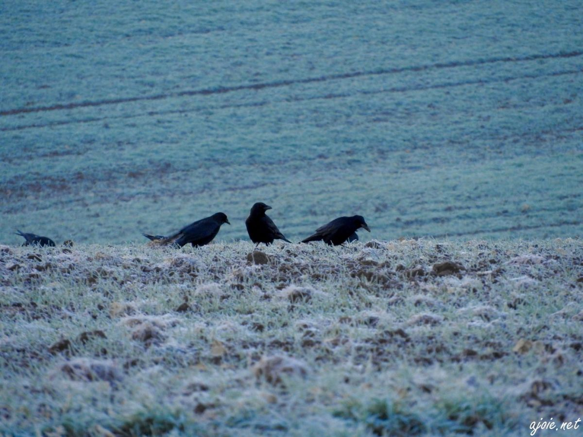 Les corbeaux saluent l'hiver...